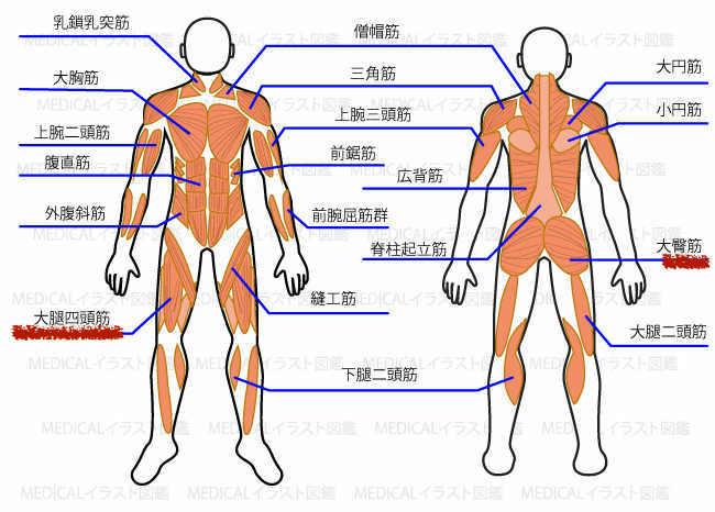 筋肉の部位の説明